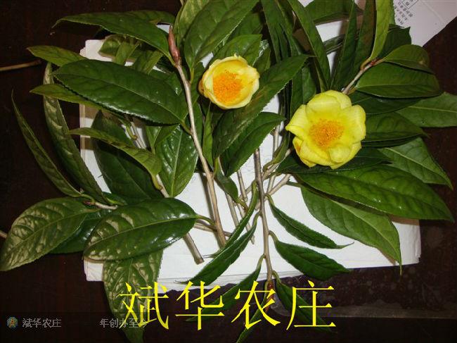 斌华农庄-金花茶|澳洲坚果|岑溪软枝油茶|大果红花|花