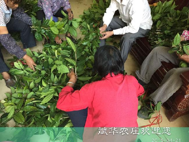 金花茶枝条_斌华农庄-金花茶,大果红花油茶,澳洲坚果